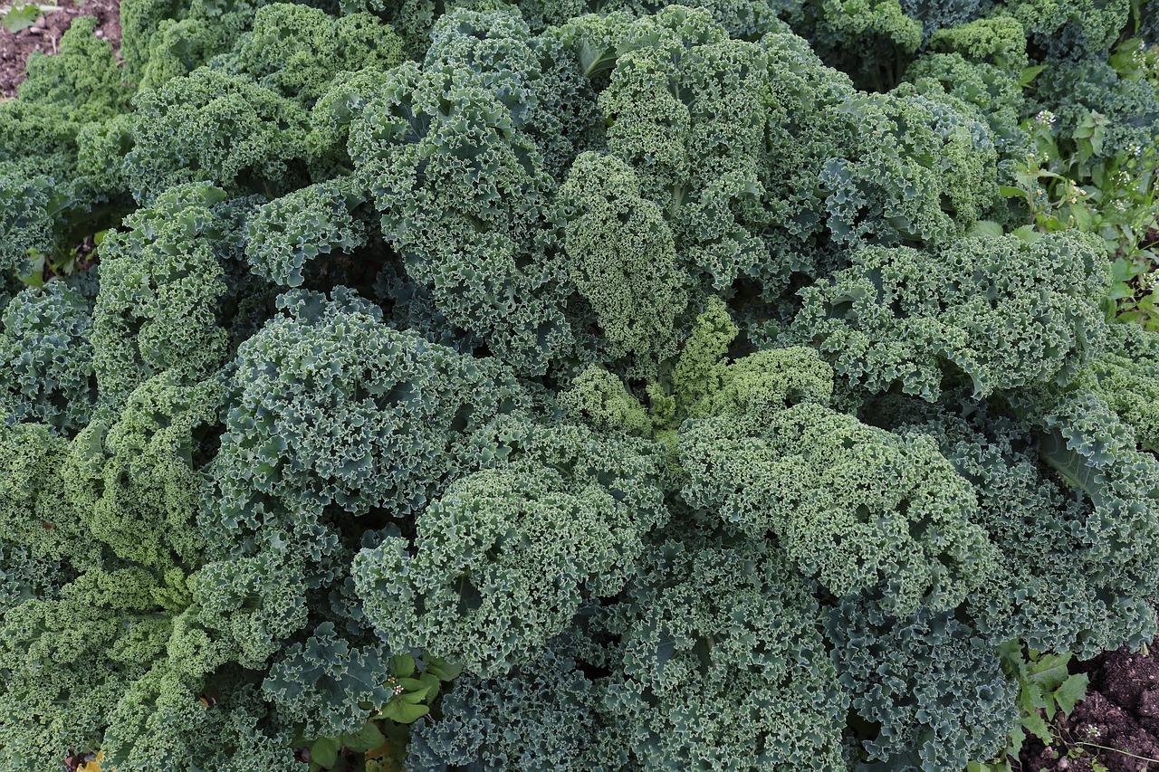 Капуста кейл (Kale) фото 7