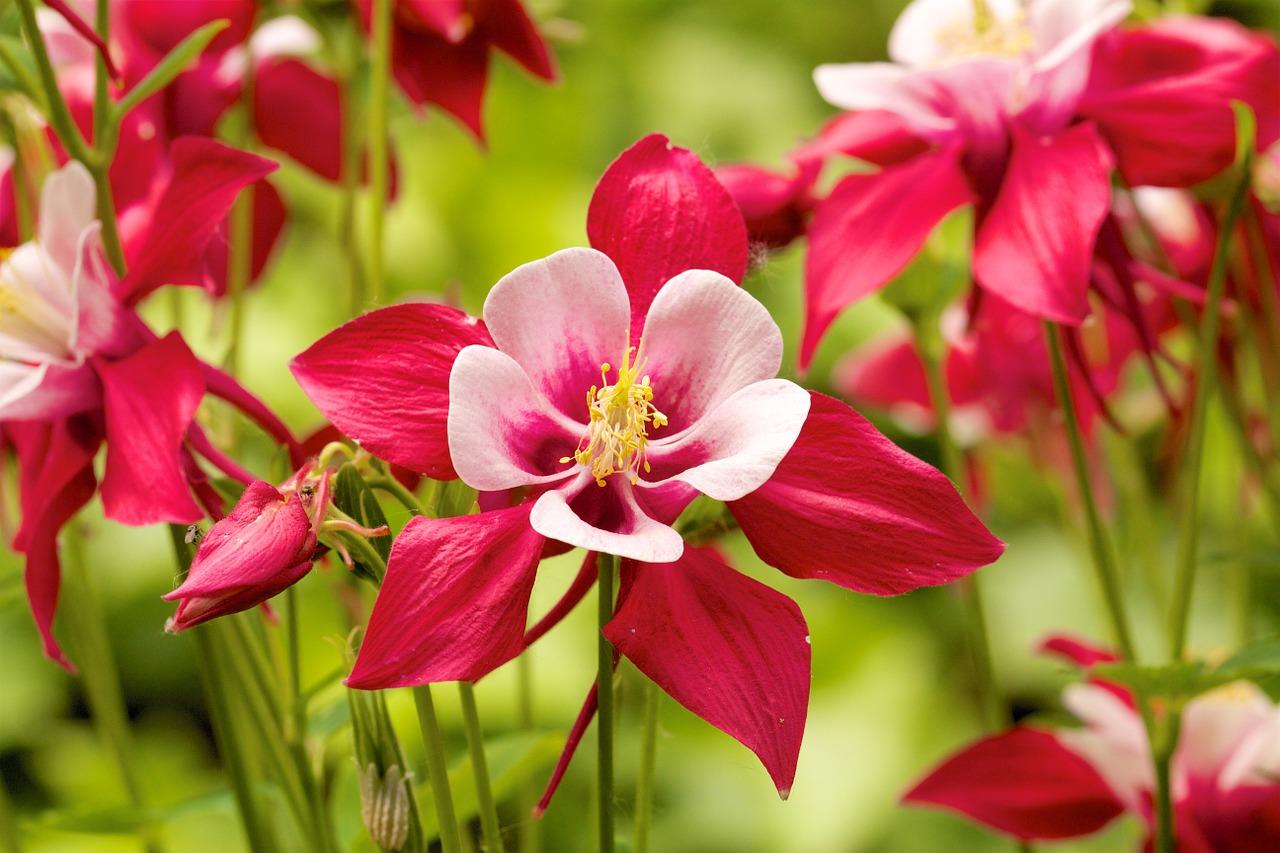 цветок аквилегия (водосбор) - фото