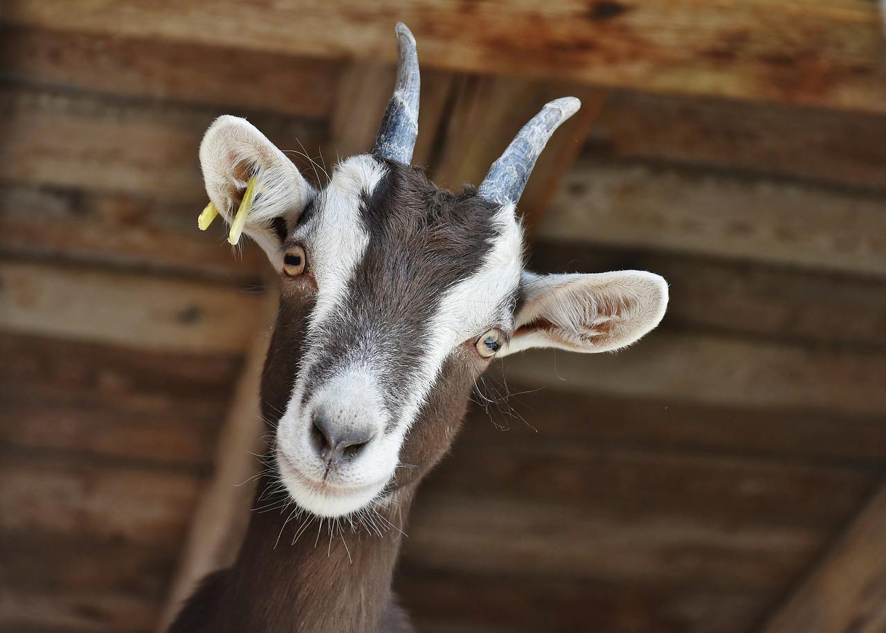 ядовитые растения для коз