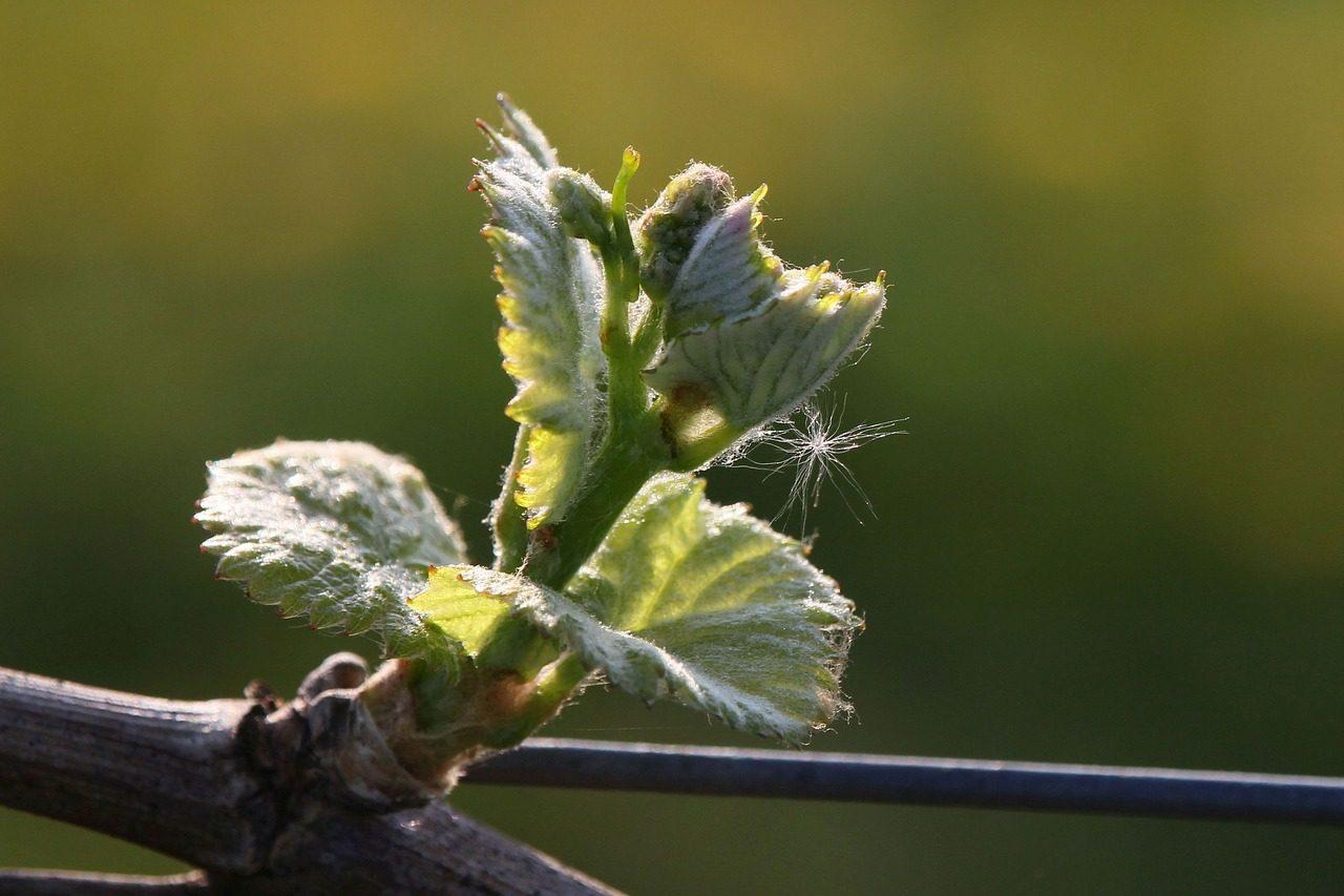 виноград сколько кистей оставлять