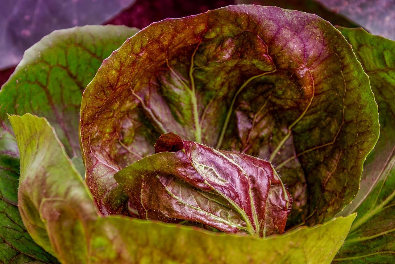 Салат кочанный - особенности выращивания