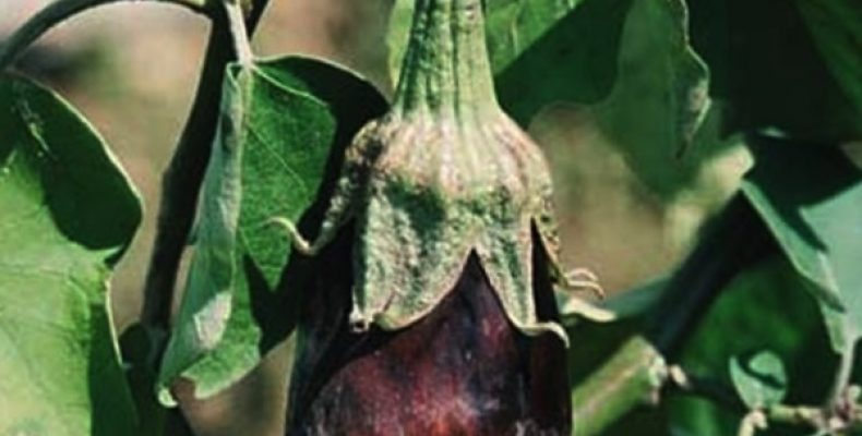 Фитофтороз баклажан