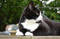 Черно-белые коты — фото