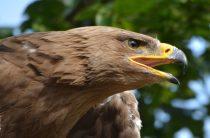 Орел беркут — птица необыкновенная, 17 фактов о жизни беркутов, фото, видео