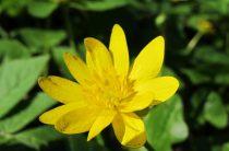 Чистяк весенний — описание, фото, лечебные свойства, 12 интересных фактов