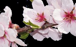 Выгонка веток: ТОП-50 растений, которые распускаются в доме