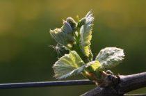 Черенки винограда в феврале