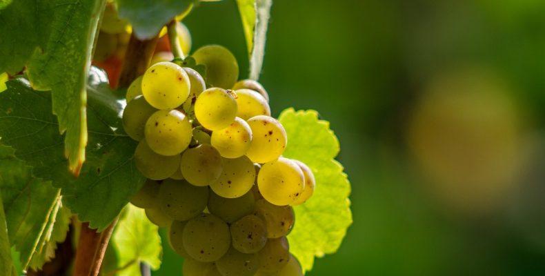 Посадка виноградника — видео из домашнего архива