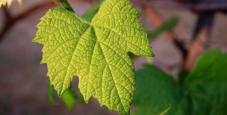 Виноград в июне: ТОП-10 забот в винограднике