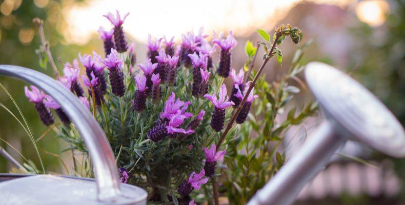 Лаванда — выращивание и уход в домашних условиях: 17 аспектов выращивания, 4 способа размножения
