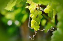 Выращивание винограда в бочках, Северо-Западный регион: 15 нюансов
