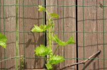 Виноград и его посадка