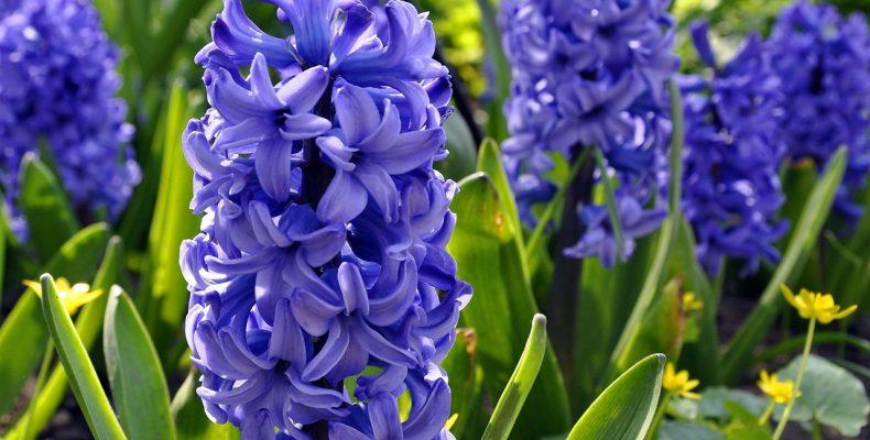 Как красиво посадить цветы: гаицинты