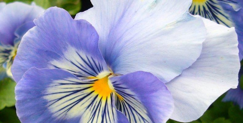 Низкорослые бордюрные цветы: цикл «Самые неприхотливые цветы для дачи» Часть 2