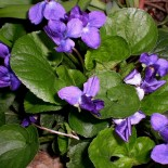 Фиалка душистая: описание, выращивание, уход, 14 фото