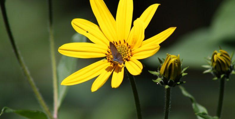 Топинамбур как элемент ландшафтного дизайна — в цветнике, в саду, на пасеке