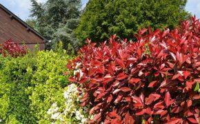 Живая изгородь: ТОП 20 растений для создания живой изгороди