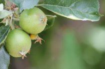 Прореживание завязей яблони