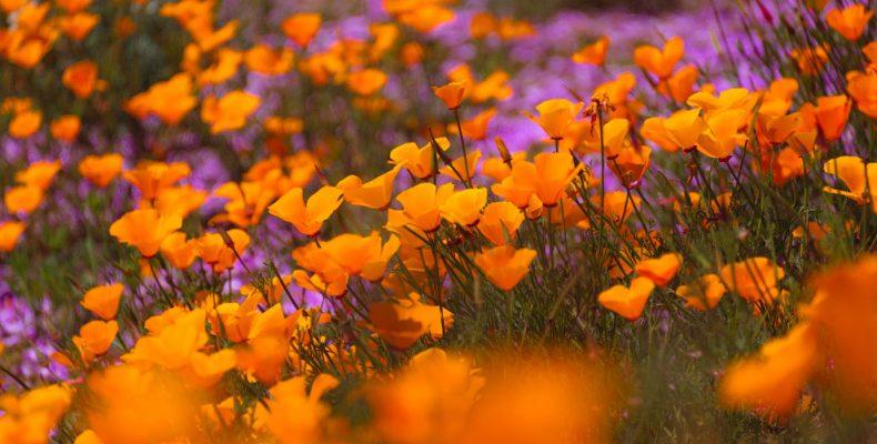 Эшшольция калифорнийская в Калифорнии — фото