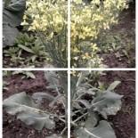 Как вырастить семена капусты?