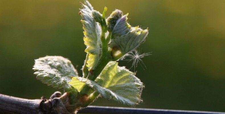 Виноград: сколько кистей оставлять?