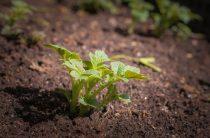 Подготовка клубней к посадке — прорастет ли картофель на улице? Вопрос читателя