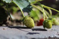 Выращивание клубники в теплице круглый год — цикл «Хочу жить в деревне»