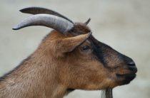 Красивые козы — фото