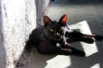 Черные коты и кошки — 16 характеристик животных, особенности ухода