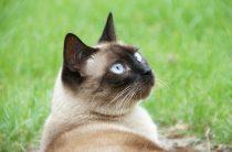 Сиамская кошка  — особенности, содержание, фото