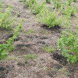 Смородина: размножение черенками