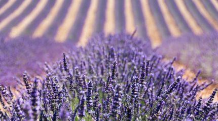 Цветущая лаванда  — 15 фото, Прованс