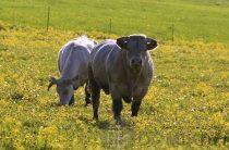 Синяя корова — уникальная порода скота