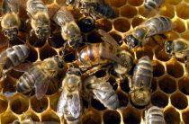 Запасная матка пчелы зимой