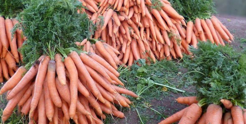 4 «НЕТ» для морковки или Выращивание моркови в домашних условиях