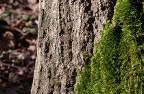 Мох на плодовых деревьях — как бороться?