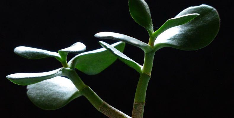 Тля на комнатных растениях — лечение народными средствами