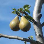 Почему не плодоносит груша — 9 причин