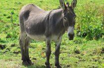 Осел: содержание осла в домашних условиях, 10 интересных фактов о животном