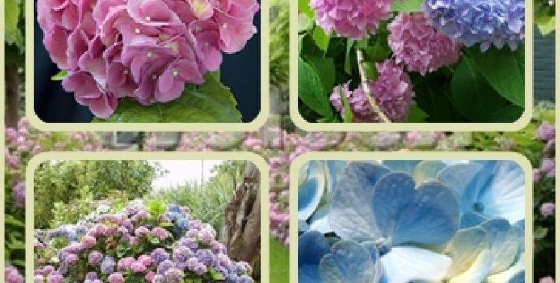 Садовая гортензия в домашних условиях