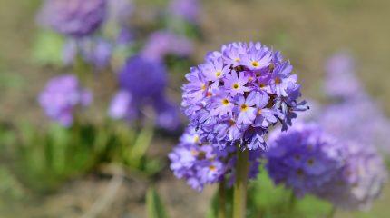 Весенние садовые цветы — 10 фото