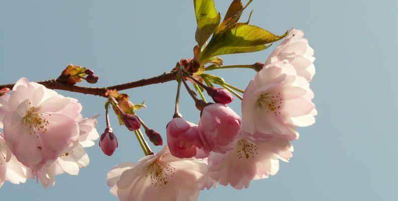 Как размножить сакуру?
