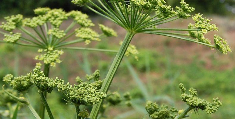 Растение Борщевик сибирский: описание, свойства, фото