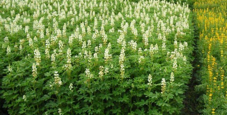 Люпин сидерат — выращивание, уход, 10 преимуществ