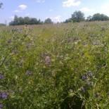 Трава люцерна — сидерат