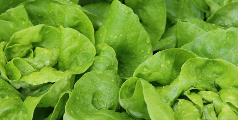 Новые сорта кочанного салата
