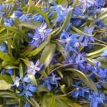 Голубой подснежник–пролеска цветок