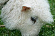 Овцы: 15 красивых фото, 6 фактов о животных
