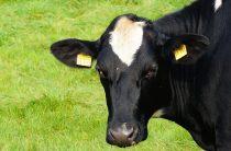 Корова — домашнее животное