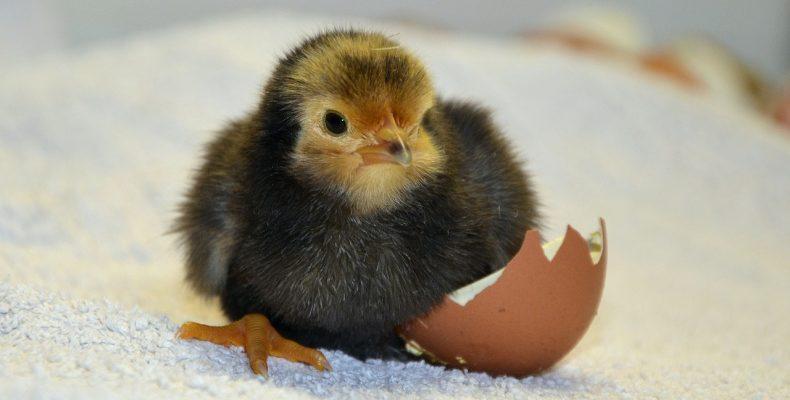 Выведение цыплят или Жизнь в деревне для души и сердца